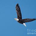 Bald Eagle In Flight 2 by Ronald Grogan