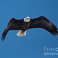 Bald Eagle In Flight 4 by Ronald Grogan