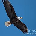 Bald Eagle In Flight 5 by Ronald Grogan