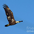 Bald Eagle In Flight by Anthony Mercieca