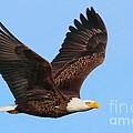 Bald Eagle In Flight by Debbie Stahre