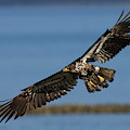 Bald Eagle In Flight, Immature by Ken Archer