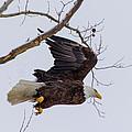 Bald Eagle In Flight by Michael J Samuels