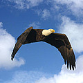 Bald Eagle In Flight by Tom Baumker