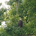 Bald Eagle In Sweetgum Tree by Robert Norcia