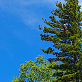 Bald Eagle In Tree by Lars Lentz