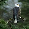 Bald Eagle In Tree by Paul DeRocker