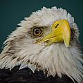 Bald Eagle by Jeff Ortakales