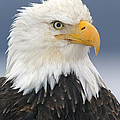 Bald Eagle by Jim Zipp
