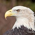 Bald Eagle by Joshua Clark