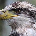 Bald Eagle - Juvenile - Profile by Randy Hall