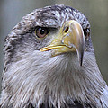 Bald Eagle - Juvenile by Randy Hall