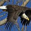 Bald Eagle Launch 1 by Eric Mace