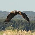 Bald Eagle by Liam Brennan