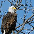 Bald Eagle by Lori Amway