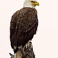 Bald Eagle On A Snag by John Vose