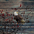 Bald Eagle On Barnwood by Steve McKinzie