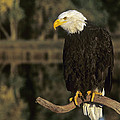 Bald Eagle On Dead Snag Wildlife Rescue by Dave Welling