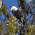Bald Eagle On Nest Near The Oxbow by Gary Langley