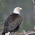 Bald Eagle On Nest With Chick Alaska by Michael Quinton
