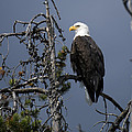 Bald Eagle On Watch by Gary Langley