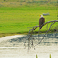 Bald Eagle Overlooking Yellowstone River by Greg Norrell