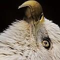 Bald Eagle by Paulette Thomas