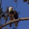 Bald Eagle Perched by Barbara Bowen
