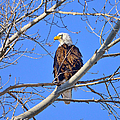 Bald Eagle Perched by Greg Norrell