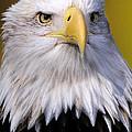 Bald Eagle Portrait by Bill Dodsworth
