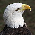 Bald Eagle Portrait by Christiane Schulze Art And Photography