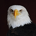 Bald Eagle Portrait by Randy Hall