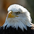 Bald Eagle Pose by Steve McKinzie