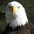 Bald Eagle Profile by Christiane Schulze Art And Photography
