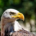 Bald Eagle Profile by Les Palenik