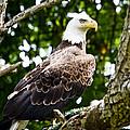 Bald Eagle by Ricky L Jones
