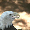 Bald Eagle by Rob Cruise