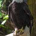 Bald Eagle by Tikvah's Hope