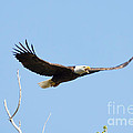 Bald Eagle Soaring Over The Trees by Lori Tordsen
