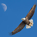 Bald Eagle Soaring With The Moon by Martin Belan