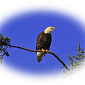 Bald Eagle by Steven Baier