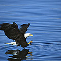 Bald Eagle Striking Kenai Peninsula by Tom Vezo