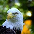 Bald Eagle by Terri Mills