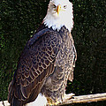 Bald Eagle Two by Janet Ashworth