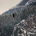 Bald Eagle V I by Sharon Elliott