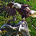 Bald Eagle With A Broken Wing In Salmonier Nature Park-nl by Ruth Hager