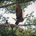 Bald Eagle With Eaglet by Everet Regal