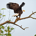 Bald Eagle With Fish by Everet Regal