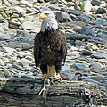 Bald Eagle With Fish On The St. Joe River by Michael Johnk