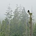 Bald Eagle,haliaeetus Leucocephalus by Don Johnston